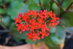 Κόκκινο λουλούδι blossfeldiana πετάλων kalanchoe στον κήπο φύσης Στοκ φωτογραφία με δικαίωμα ελεύθερης χρήσης