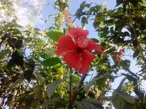 Κόκκινο λουλούδι gumamela με τα πράσινα φύλλα στοκ φωτογραφίες με δικαίωμα ελεύθερης χρήσης