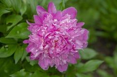 Κόκκινο λουλούδι 11 Peony Στοκ Εικόνες