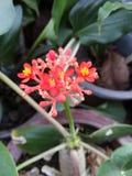 Κόκκινο λουλούδι podagrica jatropha Στοκ Εικόνες