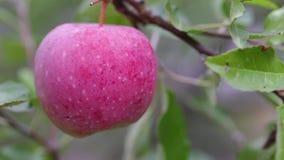 Κόκκινο μήλο σε έναν κλάδο φιλμ μικρού μήκους