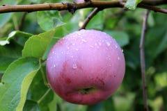 Κόκκινο μήλο που καλύπτεται με τις πτώσεις βροχής στο δέντρο Στοκ Εικόνες
