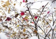 Κόκκινο μήλο σε έναν κλάδο στο χιόνι Στοκ Εικόνες