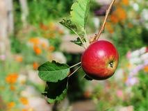Κόκκινο μήλο στον κλάδο δέντρων μηλιάς Στοκ Φωτογραφία