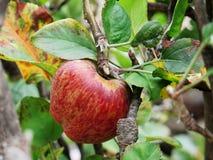 Κόκκινο μήλο στον κλάδο δέντρων μηλιάς Στοκ φωτογραφία με δικαίωμα ελεύθερης χρήσης
