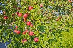 Κόκκινο μήλο στο δέντρο μηλιάς Στοκ φωτογραφίες με δικαίωμα ελεύθερης χρήσης