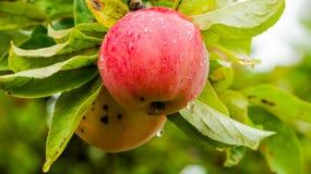 Κόκκινο μήλο στο δέντρο Στοκ Εικόνες