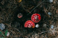 Κόκκινο μανιτάρι τρία που κρύβεται στο έδαφος στοκ εικόνες