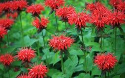κόκκινο μελισσών βάλσαμ&omicron Στοκ Φωτογραφία