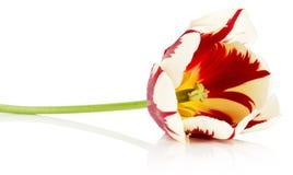 Κόκκινο με την άσπρη τουλίπα που απομονώνεται σε ένα άσπρο υπόβαθρο στοκ εικόνες