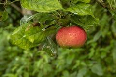 κόκκινο μονοπατιών ένωσης ψαλιδίσματος κλάδων μήλων στοκ εικόνες με δικαίωμα ελεύθερης χρήσης