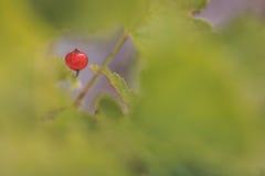 Κόκκινο μούρο σε πράσινο Στοκ Φωτογραφίες