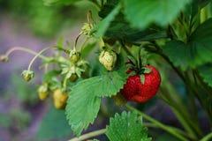 κόκκινο μούρο φραουλών στο Μπους στοκ εικόνες