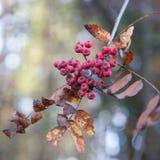 κόκκινο μούρων τέφρας Στοκ Φωτογραφίες