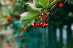 κόκκινο μούρων Στοκ Φωτογραφία