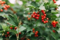 κόκκινο μούρων Στοκ εικόνες με δικαίωμα ελεύθερης χρήσης