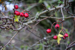 κόκκινο μούρων Στοκ Φωτογραφίες