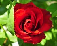 Κόκκινο μπουμπούκι τριαντάφυλλου με τα leafes Στοκ εικόνες με δικαίωμα ελεύθερης χρήσης