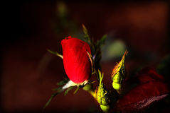 κόκκινο μπουμπούκι τριαντάφυλλου Στοκ Εικόνα
