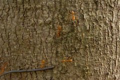 Κόκκινο μυρμήγκι, διάφορες αναβάσεις στους κλαδίσκους Στοκ φωτογραφία με δικαίωμα ελεύθερης χρήσης