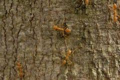 Κόκκινο μυρμήγκι, διάφορες αναβάσεις στους κλαδίσκους Στοκ φωτογραφίες με δικαίωμα ελεύθερης χρήσης
