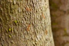 Κόκκινο μυρμήγκι, διάφορες αναβάσεις στους κλαδίσκους Στοκ Εικόνα