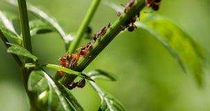 Κόκκινο μυρμήγκι με το αφίδιο σε έναν πράσινο μίσχο Στοκ φωτογραφίες με δικαίωμα ελεύθερης χρήσης