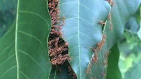 Κόκκινο μυρμήγκι που εργάζεται για να κατασκευάσει το σπίτι από το φύλλο φιλμ μικρού μήκους