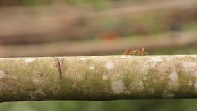 Κόκκινο μυρμήγκι που περπατά πέρα από έναν συνδετήρα κλάδων hd απόθεμα βίντεο
