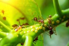 Κόκκινο μυρμήγκι που περπατά σε πράσινο Στοκ φωτογραφία με δικαίωμα ελεύθερης χρήσης