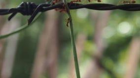 Κόκκινο μυρμήγκι που περπατά στο εγχώριο μήκος σε πόδηα απόθεμα βίντεο