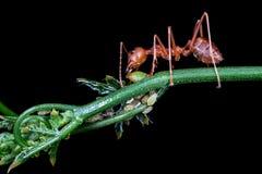 Κόκκινο μυρμήγκι που τρώει το σιρόπι από τα aphis Στοκ εικόνα με δικαίωμα ελεύθερης χρήσης