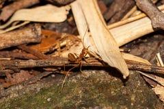 Κόκκινο μυρμήγκι στην πέτρα Στοκ Φωτογραφία