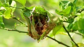 Κόκκινο μυρμήγκι στο δέντρο λεμονιών απόθεμα βίντεο
