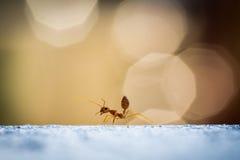 Κόκκινο μυρμήγκι δύναμης Στοκ Εικόνες