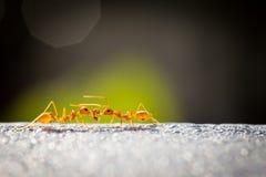 Κόκκινο μυρμήγκι δύναμης Στοκ εικόνα με δικαίωμα ελεύθερης χρήσης