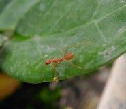 Κόκκινο μυρμήγκι Στοκ εικόνες με δικαίωμα ελεύθερης χρήσης