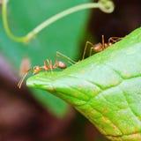 Κόκκινο μυρμήγκι Στοκ Φωτογραφία