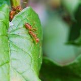 Κόκκινο μυρμήγκι Στοκ Εικόνα