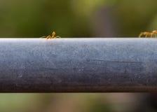 Κόκκινο μυρμήγκι Στοκ φωτογραφίες με δικαίωμα ελεύθερης χρήσης