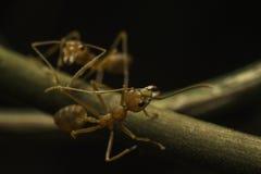 Κόκκινο μυρμήγκι Στοκ εικόνα με δικαίωμα ελεύθερης χρήσης