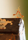 Κόκκινο μυρμήγκι Romantics Στοκ Εικόνα