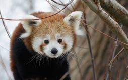 Κόκκινο μωρό της Panda Στοκ φωτογραφίες με δικαίωμα ελεύθερης χρήσης