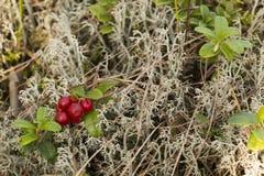 Κόκκινο μύρτιλλο στις λειχήνες Στοκ Φωτογραφίες