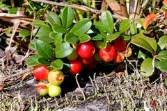 Κόκκινο μύρτιλλο  vaccinium vitis-idaea Στοκ εικόνα με δικαίωμα ελεύθερης χρήσης