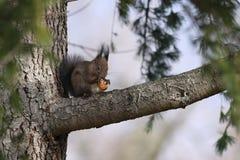 Κόκκινο να ταΐσει σκιούρων με το ξύλο καρυδιάς Στοκ Φωτογραφίες