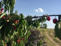 Κόκκινο νόστιμο κεράσι σε έναν κλάδο στοκ φωτογραφία