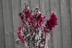 Κόκκινο ξεραίνοντας λουλούδι με τον ξύλινο φράκτη στο υπόβαθρο στοκ φωτογραφία