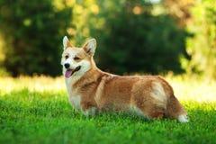Κόκκινο ουαλλέζικο σκυλί corgi pembroke υπαίθρια στην πράσινη χλόη Στοκ Εικόνες