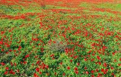 κόκκινο λουλουδιών Καλοκαίρι Στοκ φωτογραφίες με δικαίωμα ελεύθερης χρήσης